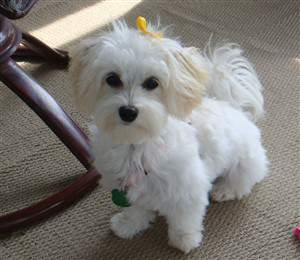 Maltipoo with yellow bow