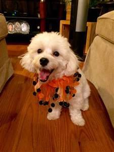 smiling maltipoo dog