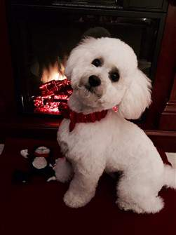 pure white Maltipoo dog