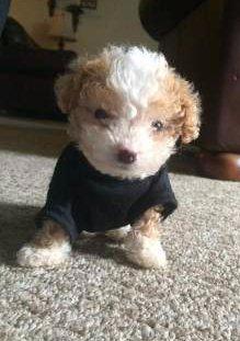 Maltipoo 9 week puppy