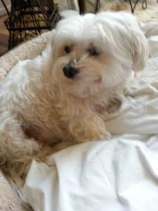 Picture of Maltipoo | Enjoy Looking at Lots of Maltipoo Photos