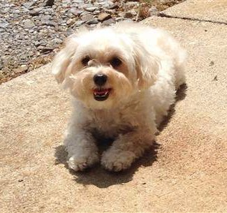 Can Cottage Cheese Make You Constipated Maltipoo Upset