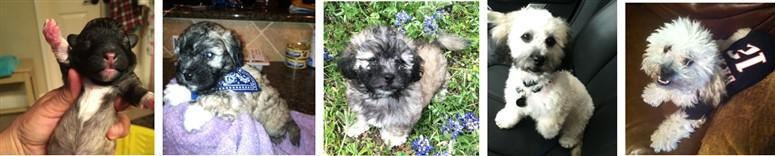 Maltipoo line of color change