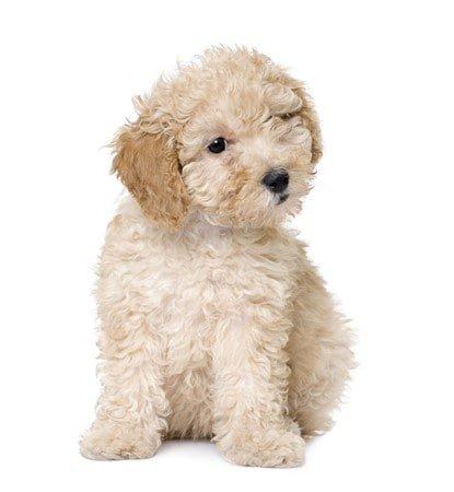 maltipoo-dog-