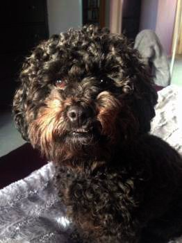 Solid Black Maltipoo Puppies and Dogs | A Gorgeous Color