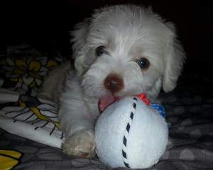 Maltipoo with toy