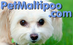 Maltipoo Facts Everything You Want To Know About The