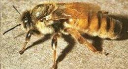 vendita api regine reggio calabria