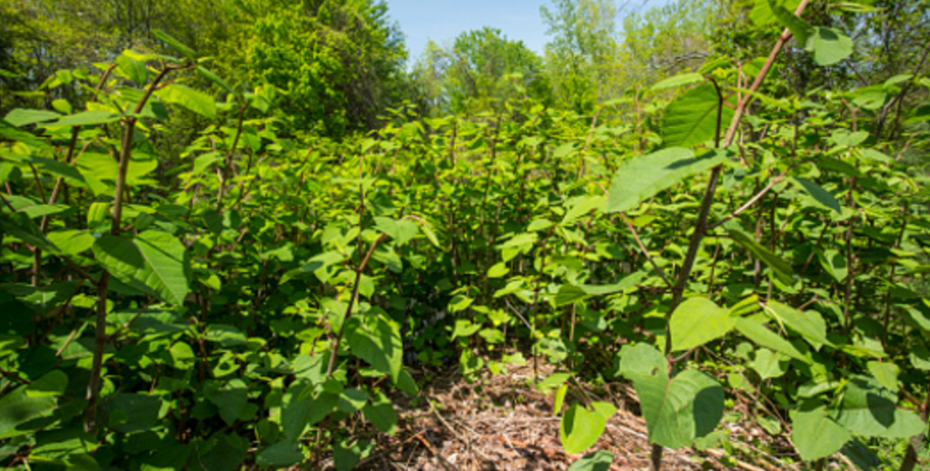 Invasive Weeds; A Growing Problem - Invasive Weed Treatment & Eradication for Commercial Property | Valley Landscape Management