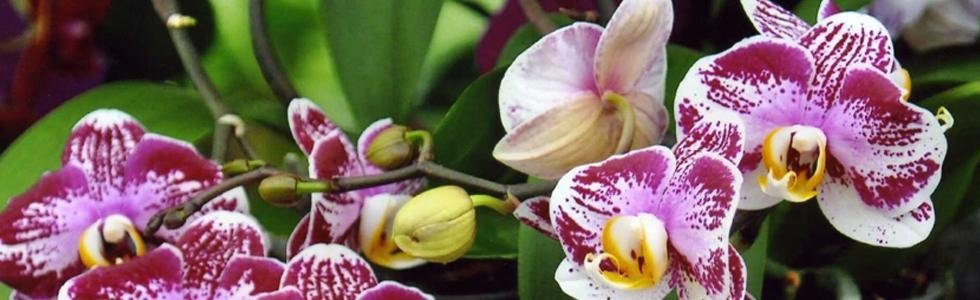 vivaio tonetto nevia orchidee