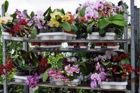 orchidee varie qualità