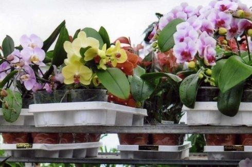 orchidee coltivazioni