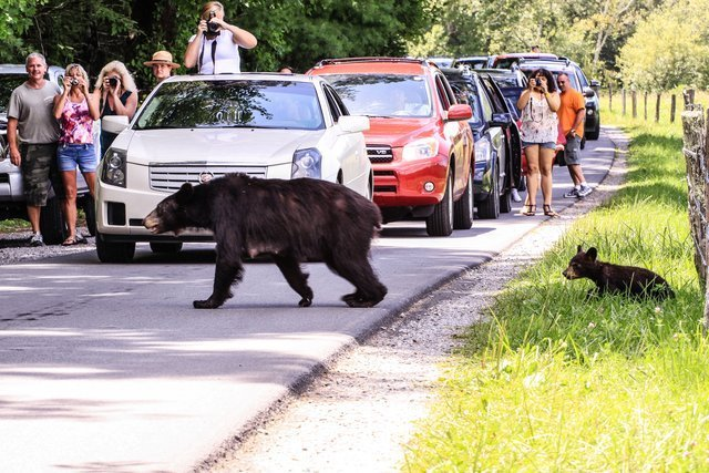 Mama Bear and Cub Crossing Gades Cove