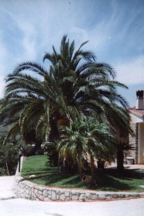 manutenzione palme