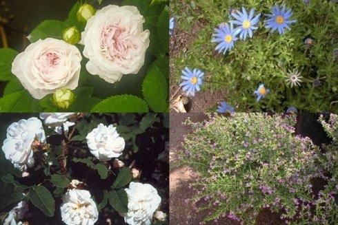 rose per giardini