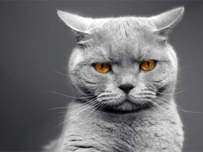 allevamento gatto british