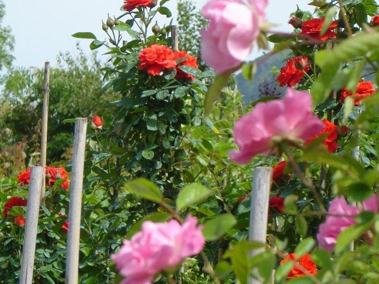 Rose Maillandine