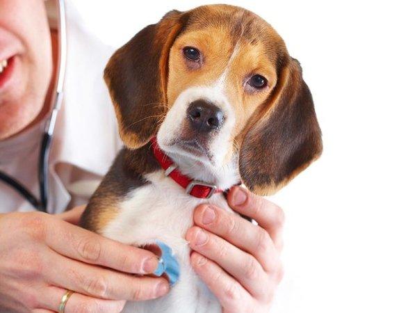 un beagle dal veterinario