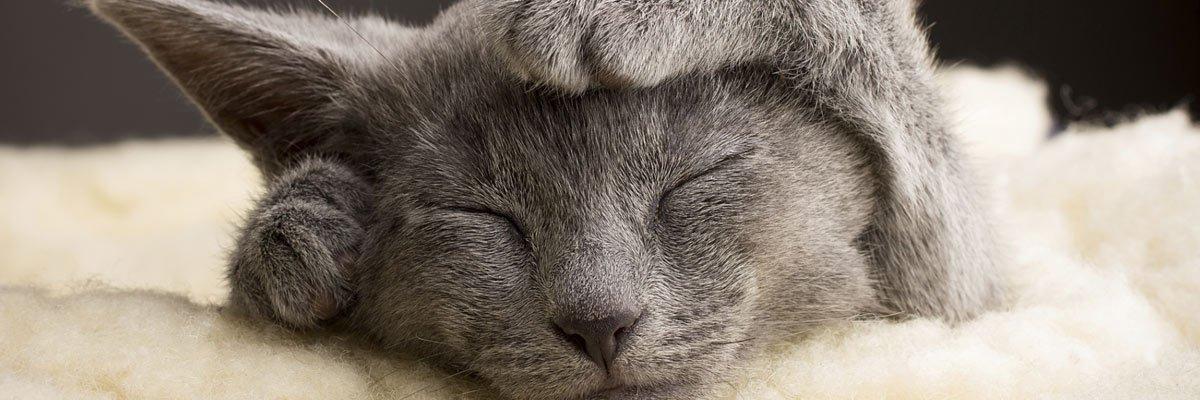 dr mustafa veterinary clinic grey haired cat