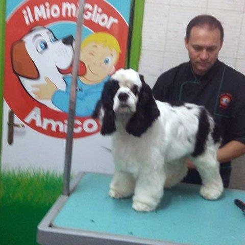 Un uomo mentre taglia il pelo a un cane di razza cocker spaniel di bianco e nero