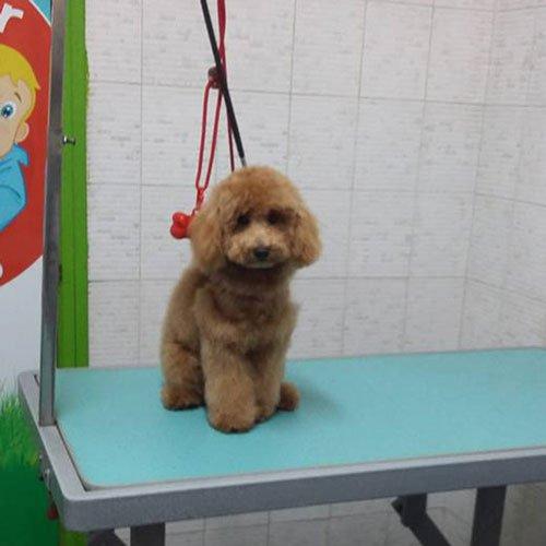 Un barboncino toy marrone seduto su una struttura in ferro per toelettatura