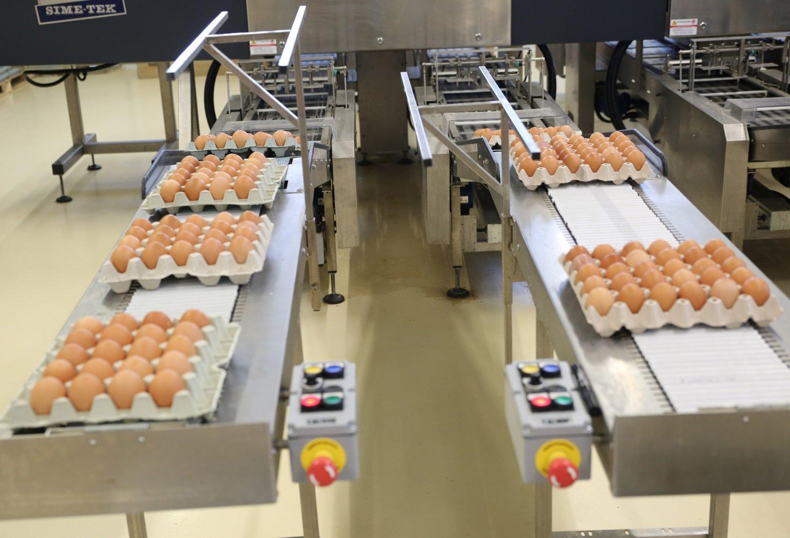 Cartoni di uova classificati ed in movimento su nastro trasportatore