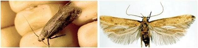 Vera tignola del grano