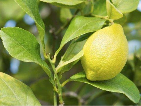 Fornitura limoni