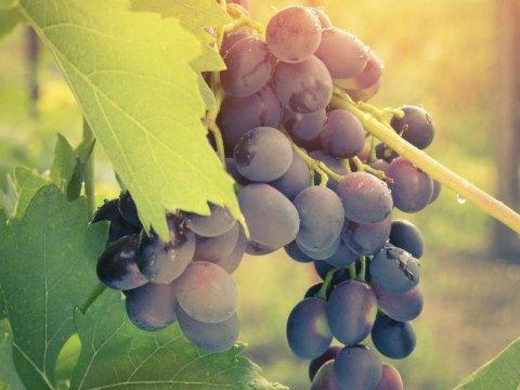 Fornitura uva per ristoranti