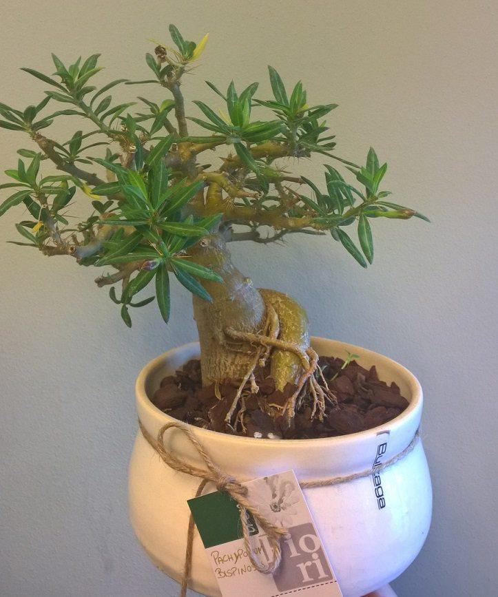 vaso ceramica di Faenza con bonsai