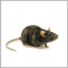 Topi e Ratti