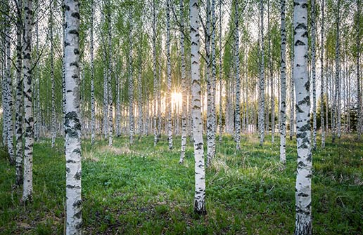 3 Signs Your River Birch Tree Is In Distress