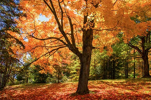 5 Interesting Facts About Sugar Maples