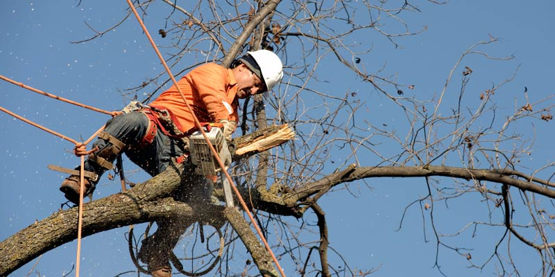 arborist removing tree branches