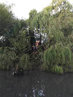 Storm damaged willow tree