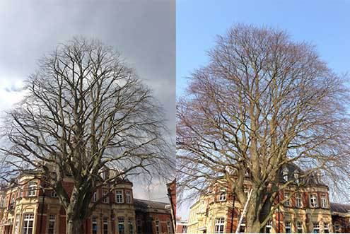 Before and after of a beech tree