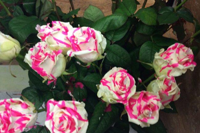 delle rose bianche e rosa