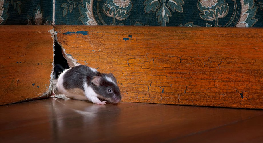 rat sneaking out