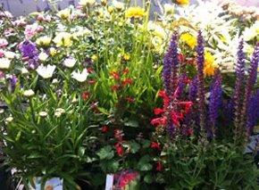 Garden plants - Harrow, Brent, Bushey - The Plantation Garden Centre - shrubs