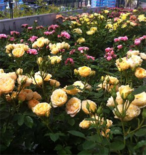 Garden centre - Harrow, Brent, Bushey - The Plantation Garden Centre - rose bush