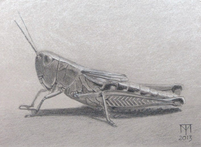 grasshopper drawing, insect drawing, insect art, pencil drawing