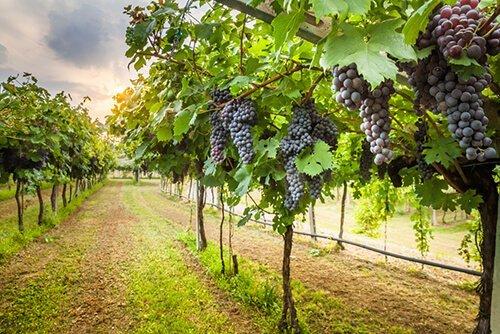 Filari di viti dell'azienda agricola