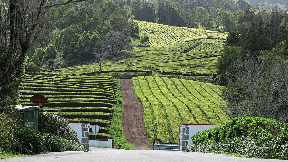 Azores bike tour tea plantation
