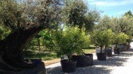 progettazione giardini,alberi ad alto fusto,olivi,limoni