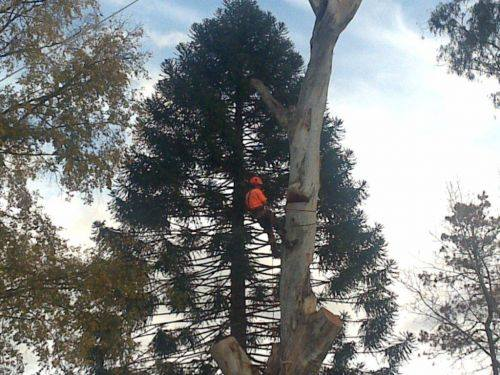 worker tied to the branch of a tall tree