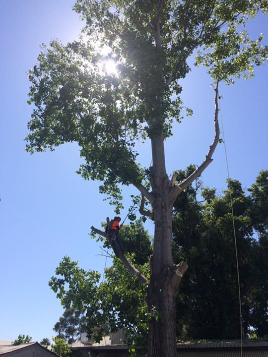 worker halfway up a tall tree with sun shining through