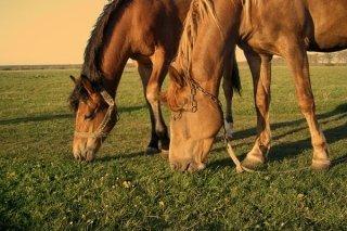 fieno per cavalli