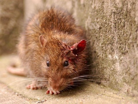 Disinfestazione da topi e ratti