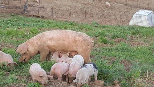 maiale con piccoli