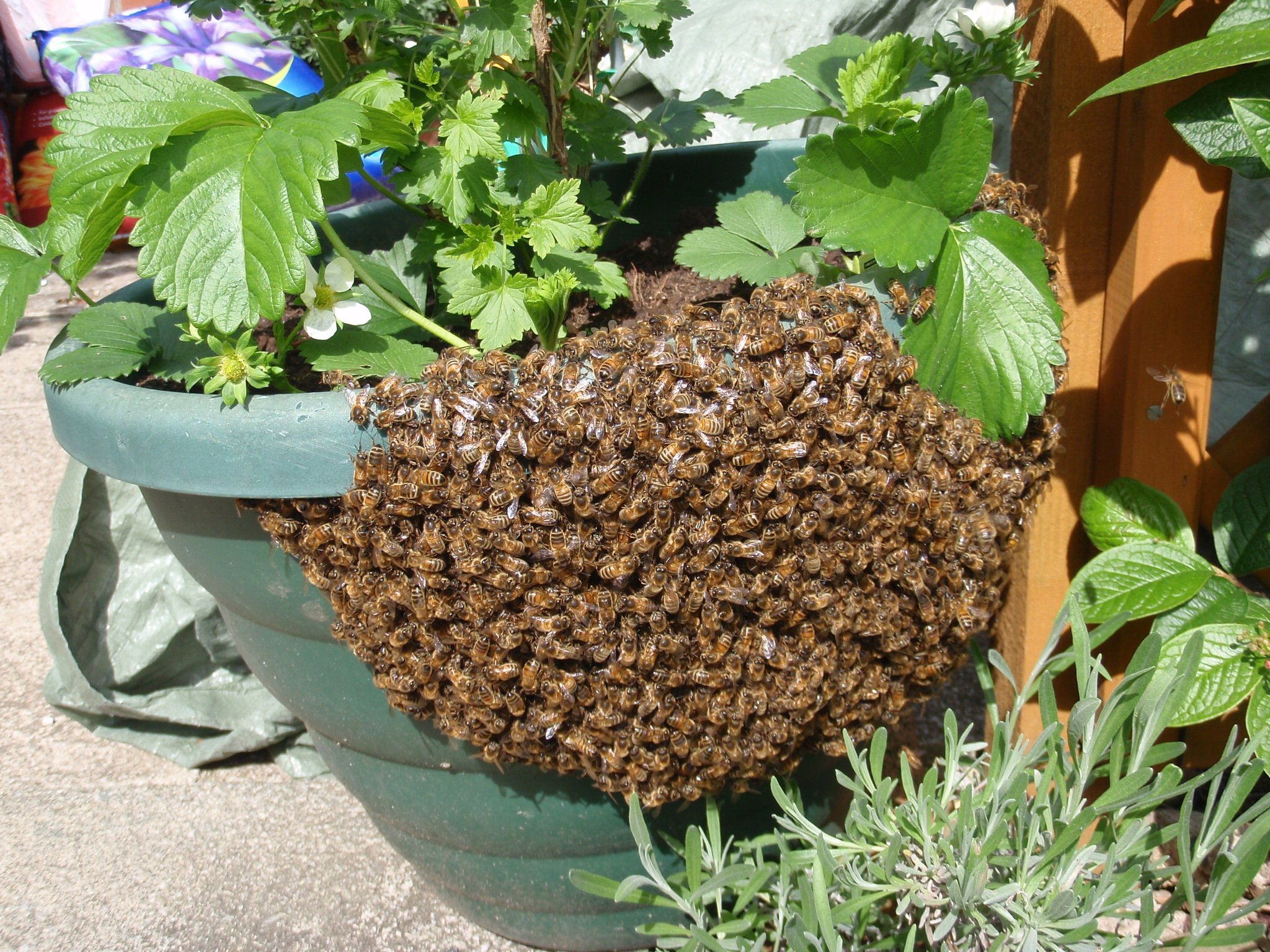 bees near the pot